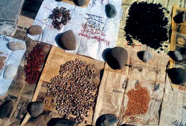 Drying  seed