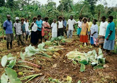 Taro  varieties in the Solomon Islands